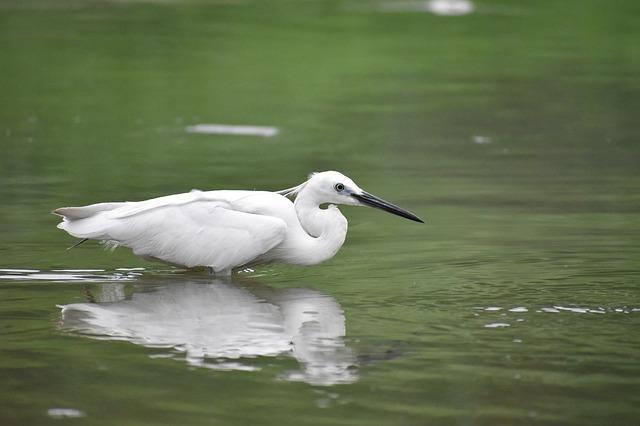 bílý pták ve vodě